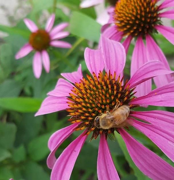 coneflower-and-honeybee
