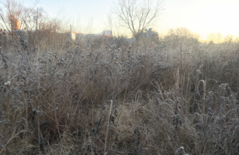 Frosty Morning with Native Plants