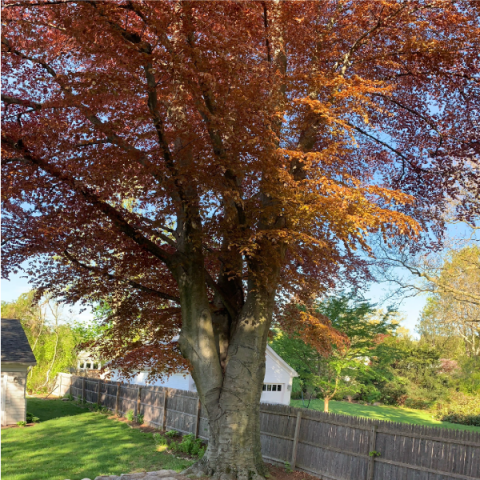 Beech tree with autumn foliage