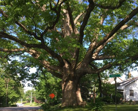 Temple Oak–the oldest tree in the city