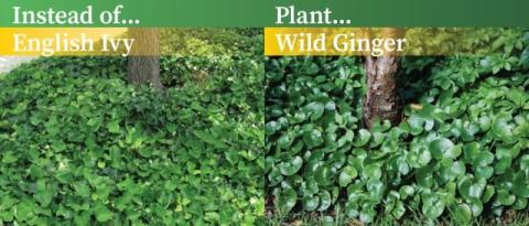 Ivy and Wild Ginger